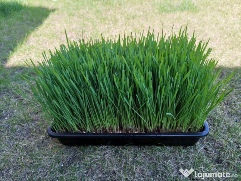 iarba de grâu pentru a îmbunătăți vederea)
