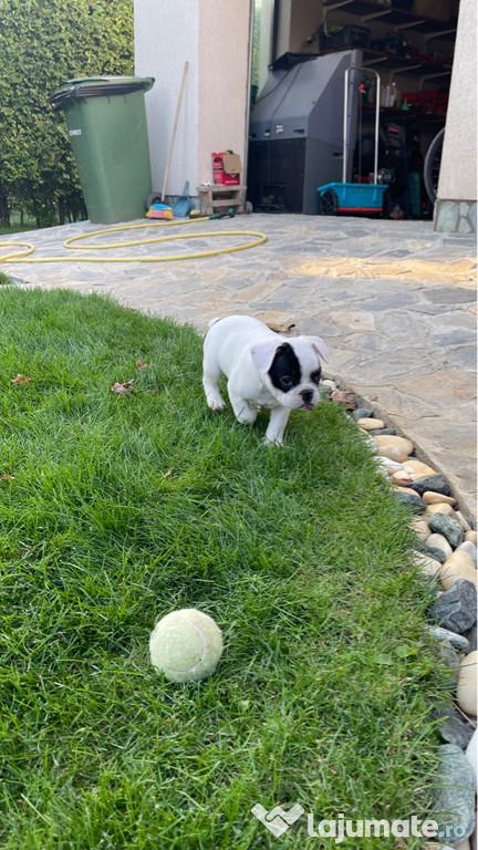 French Bulldog ( talie mică )