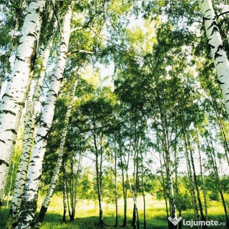 Fototapet SUNSHINE FOREST 366 cm x 254 cm