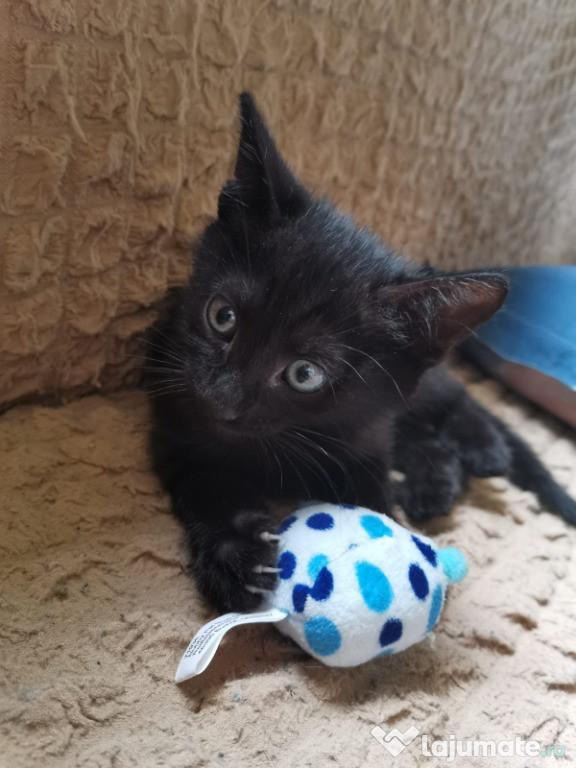 Donez Pisicuță neagră pentru apartament