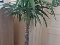 2 Yucca 2 plante