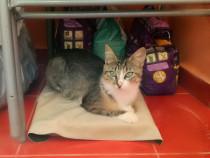 Adoptie pisica - Cody