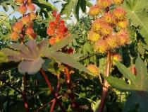 Seminte ricin rosu, bio, decorticat manual!