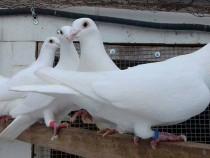 Porumbei albi
