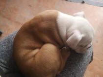 Catel bulldog englez