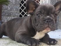 Puii bulldogului francez