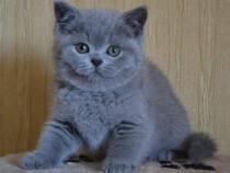 British shorthaire blue