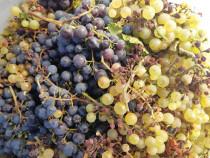 Struguri nobili pentru vin