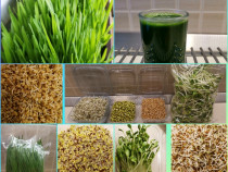 Iarba de grâu. germeni și vlăstari