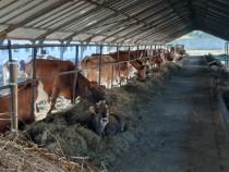 80 Vaci de lapte baltata&red holstein