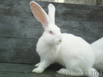 Masculi - iepuri