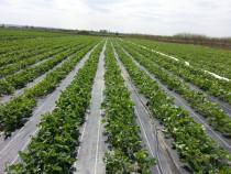 Agrotextil Negru 2.10x100m