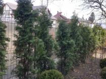 Tuia columnaris