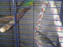 Papagali cantatori+o pereche kakariki