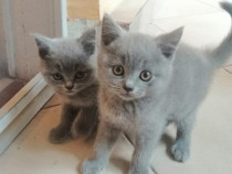 British Shorthair blue 2 pui de pisicuta