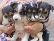 Catei Fox Terrier (wire) Sarmos