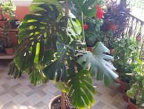 Planta Filodendron