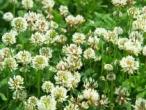 Trifoi alb (trifolium repens) seminte certificate