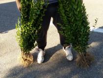 Ligustrum Ovalifolium gard viu vesnic verde