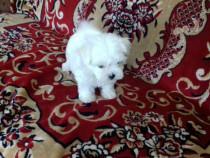 Bichon Maltese,Shih tzu,Yorkshire Terrier,Canisa!!!