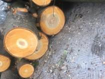 Bușteni Cires 1m-1,5m