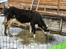 Vaca cu vitel de 3 saptamanii