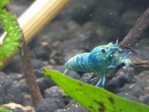 Creveti blue bolt de acvariu