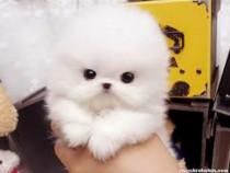 Pomeranian teacup boo