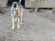 Câine pentru pază Kangal