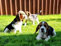 Beagle cu/fara Pedigree,Canisă!!!