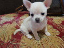 Chihuahua mini toy max 2 kg