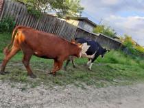 Vacă și vițică