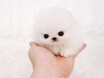 Pomeranian EXTREM Micro