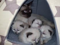 Pisicuți birmanezi