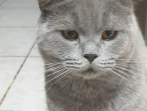 Mascul rasa pura - British Blue Longhair