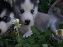 Pui Husky Siberian !