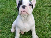 Pui Bulldog francez culoare brindle pied