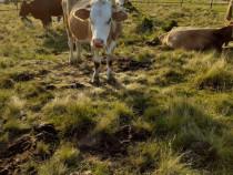 Vaci și tineret bovin