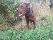 Mascul labrador retriever pedigree