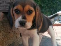 Catelus Beagle