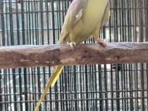 Papagali vorbitori