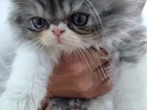 Pui pisica persana