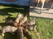 Căței ciobănesc belgian metis