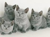 Pisici chartreux bucuresti,oradea,brasov,iasi,constanta gl