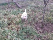 Shar Pei Schimb caini alb rasa pura carnet vacinuri 7 luni