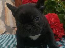 Bulldog francez!!