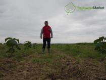 Infiintam plantatii de Paulownia Tomentosa