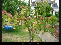 Arbore 30-40 cm
