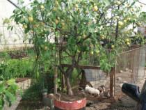 Lămâi pom