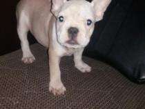 Fetita bulldog francez alb cu bej